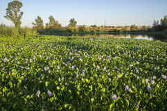 Highly invasive water hyacinth, taking over most of course at Gu. Adiana River, near Badajoz, Spain. Eichhornia crassipes Stock Photos