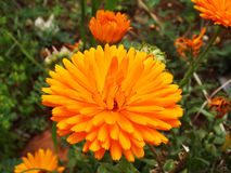 A highly ramified symmetrical orange flower in the spring. Orange blossoming flower in the garden Royalty Free Stock Photography