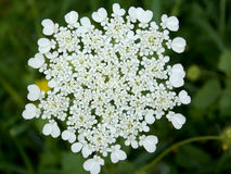 A highly ramified white flower in the spring. White flower that carry small pigments that look like hearts Stock Images