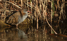 A highly secretive Water Rail Rallus aquaticus an inhabitant of freshwater wetlands. Royalty Free Stock Image