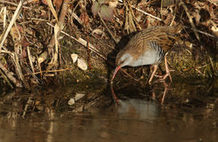 A highly secretive Water Rail Rallus aquaticus an inhabitant of freshwater wetlands. The Water Rail Rallus aquaticus is a highly secretive bird, which is an stock photo