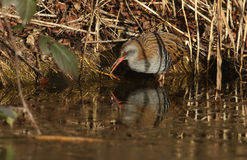 A highly secretive Water Rail Rallus aquaticus an inhabitant of freshwater wetlands. Royalty Free Stock Photos