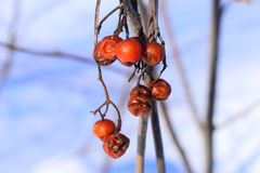 It is a highly variable species, and botanists have used different definitions of the species to include. Sorbus aucuparia, commonly called rowan and mountain Royalty Free Stock Photo
