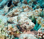 Highly venemous Scorpion Fish hides on the seabed. A well camouflaged Scorpion fish lurks on the seabed stock images