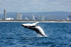 Highrises and breaching Humpback. A Humpback Whale breaches and almost totally out of the water. The highrises on the beachfront make a nice backdrop. Taken on stock photo