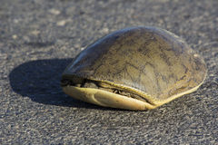 Highway Crossing - Scared Tortoise. I found this on the Highway in this position Royalty Free Stock Photo