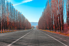 Highway road to the mountains through the alley autumn red poplar trees Royalty Free Stock Photos