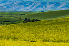 Highway through yellow canola fields in Eastern Washington state. Paved highway passing through canola fields and hills in Palouse region of Washington state Stock Photos