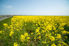 Highways, rapeseed and the Black Sea in Bulgaria. Bulgaria - occupies a leading position among the Balkan countries on the cultivation of grapes and sunflowers Royalty Free Stock Photography