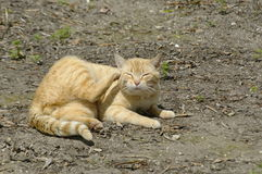 Higiene do gato Foto de Stock