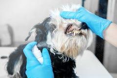 Higiene oral del espray del perro para el tártaro fotografía de archivo libre de regalías
