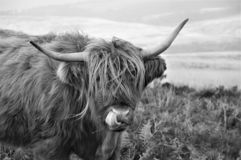 Higiene pessoal de uma vaca escocesa das montanhas que vive no charneca imagem de stock royalty free