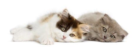 Higland derecho y gatitos del doblez que mienten junto fotografía de archivo