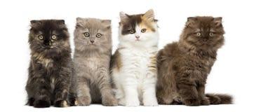 Higland derecho y gatitos del doblez que se sientan en fila Foto de archivo libre de regalías
