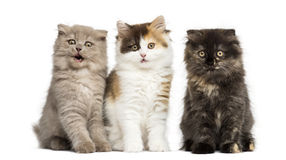 Higland derecho y gatitos del doblez que se sientan en fila, aislado encendido Fotos de archivo