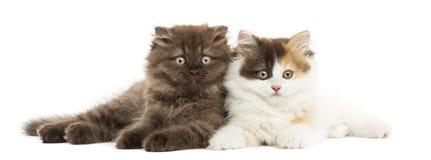 Higland directement et chatons de pli se trouvant ensemble Image libre de droits