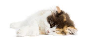 Higland recht katje die, geïsoleerd slapen, liggen royalty-vrije stock fotografie