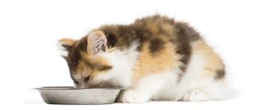 Higland recht katje die van een geïsoleerde kom eten, stock foto's
