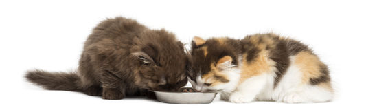 Higland straight and fold kittens eating from a bowl Royalty Free Stock Photography