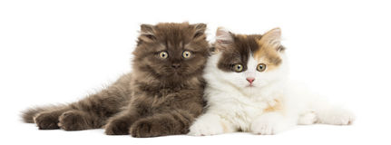 Higland straight and fold kittens lying together Royalty Free Stock Images