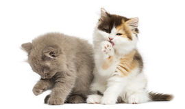 Higland straight and fold kittens sitting, having a wash. Isolated on white royalty free stock photo