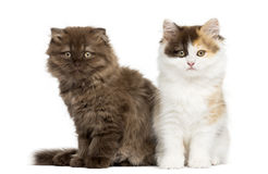 Higland straight and fold kittens sitting next to each other. Isolated on white royalty free stock photography