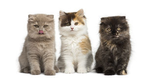 Higland straight and fold kittens sitting in a row, isolated on Royalty Free Stock Images