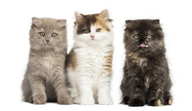 Higland straight and fold kittens sitting in a row, isolated on Stock Image