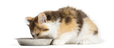 Higland straight kitten eating from a bowl, isolated. On white Stock Photos