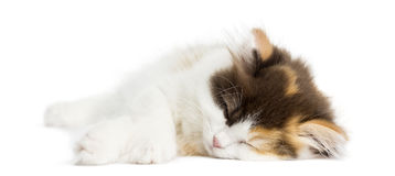 Higland straight kitten lying down, sleeping, isolated Royalty Free Stock Photography