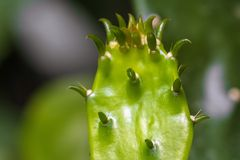 Higo chumbo del cactus Fotos de archivo libres de regalías