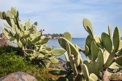 Higo chumbo del cactus Imagenes de archivo