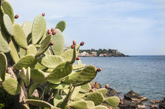 Higo chumbo del cactus Imágenes de archivo libres de regalías