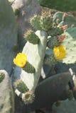 Higo chumbo floreciente fotografía de archivo