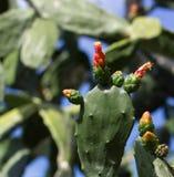 Higo chumbo (Opuntia spp) Imagen de archivo