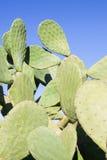 Higo de Barbary del cactus del higo Imágenes de archivo libres de regalías