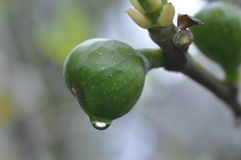 Higo inmaduro (Ficus Carica) Foto de archivo libre de regalías