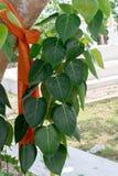 Higo sagrado BO irse con el árbol en templo tailandés foto de archivo libre de regalías