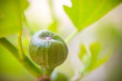 Higo verde Foto de archivo
