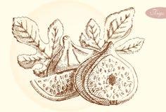 Higos del dibujo de la mano, ejemplo del vector Imagen de archivo libre de regalías