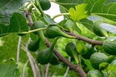 Higos verdes en un árbol de higo Fotos de archivo