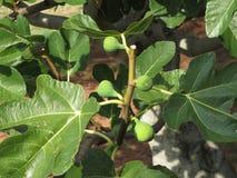 Higos verdes que maduran en una higuera con las hojas verdes Toscana, Italia Fotos de archivo