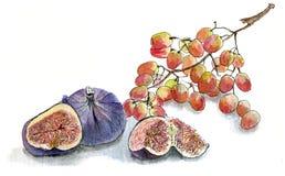 Higos y uvas, drenaje de la mano del bosquejo de la acuarela en el fondo blanco Fotografía de archivo libre de regalías