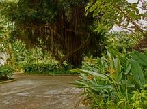 Higuera barbuda en la cueva del ` s de Harrison en Barbados foto de archivo libre de regalías