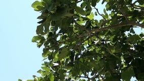 Higuera común Ficus Carica contra el cielo azul almacen de video