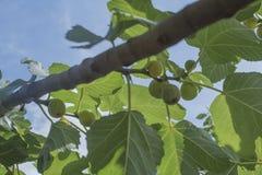 Higuera con las frutas y las hojas maduras del verde fotografía de archivo libre de regalías