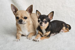 Сhihuahua dogs Royalty Free Stock Images
