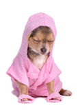 Hihuahua Dressed With Bathrobe And Slippers Stock Photo