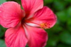 hiiscurs粉红色 库存照片