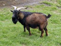 Hij-geit op weide Stock Afbeelding